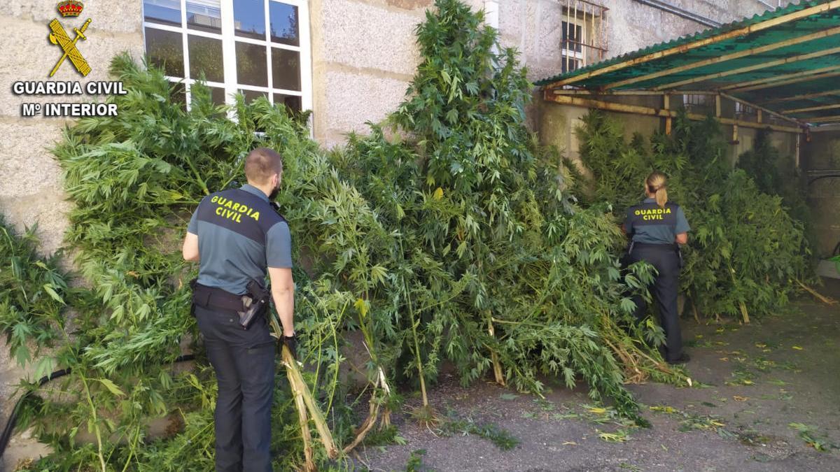 Las plantas intervenidas en Tui / Guardia Civil