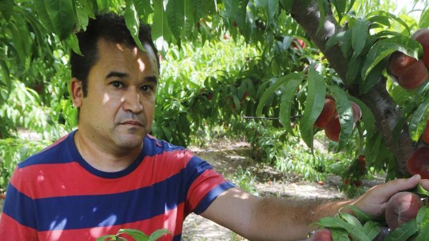 Las picaduras obligan a catorce collidors a dejar sin recolectar un campo de frutales