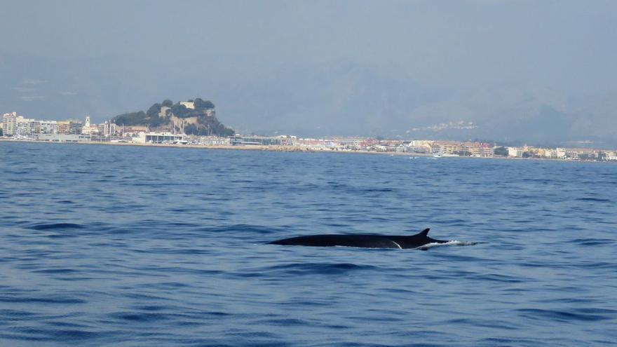 Avistan 19 ballenas rorcuales en Dénia, el segundo animal más grande del planeta
