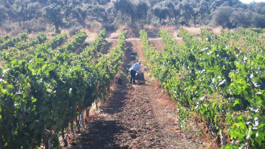 Agricultura abona el último pago de ayudas a la reestructuración del viñedo en Castilla y León