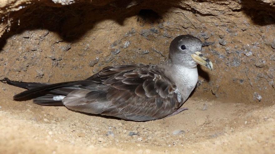 SEO/BirdLife se persona en el procedimiento abierto contra tres personas que cazaban pardelas en Lanzarote