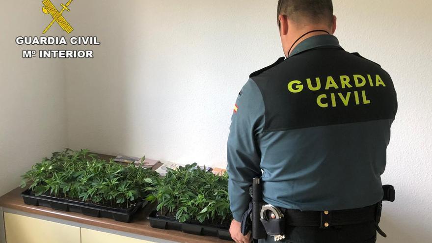 La Guardia Civil detiene a una persona en Santaella que portaba más de 200 plantas de marihuana