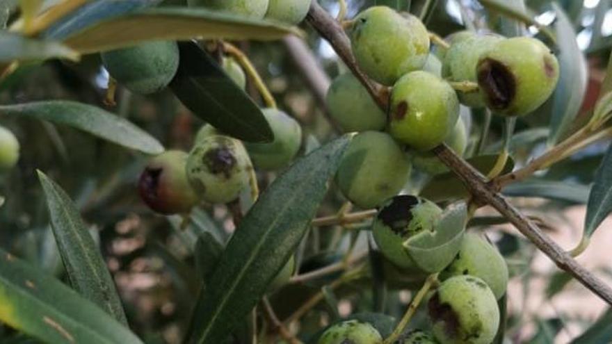 Hagel vernichtet große Teile der diesjährigen Olivenernte