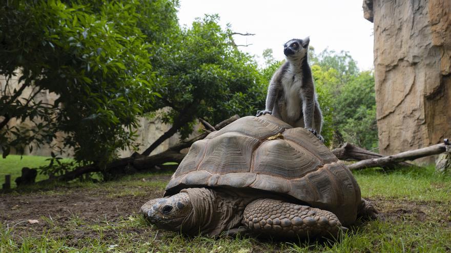 Las tortugas gigantes de Aldabra del Bioparc salen de su hibernación y se unen a los lemures en el recinto de Madagascar
