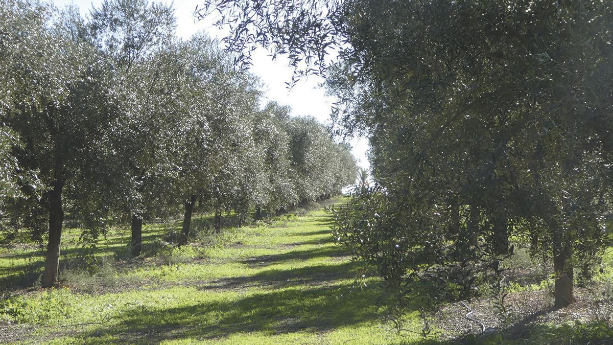 Siempre va bien un pase por los olivos de Aubocasa