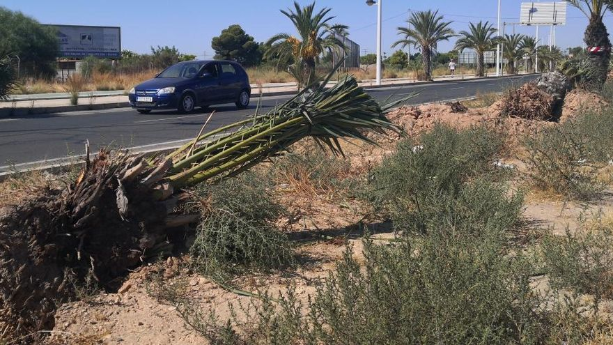 Ecologistas piden explicaciones al Ayuntamiento de Elche por el arranque de palmeras en la Ronda Norte