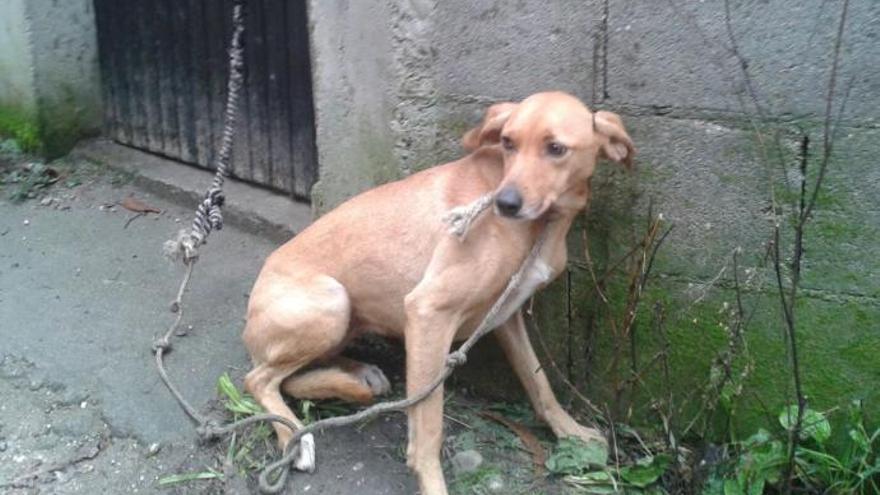 Encadenar perros de forma permanente en Galicia se multará con hasta 5.000 euros