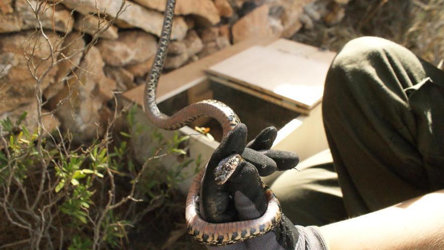 Mallorca rückt Schlangen mit Fallen zu Leibe