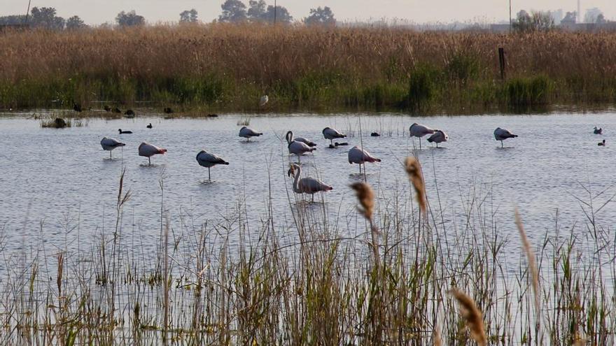 Els flamencs poblen els aiguamolls de la Plana Baixa
