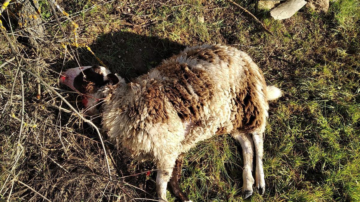 Una oveja muerta tras el ataque en Viñuela de Sayago