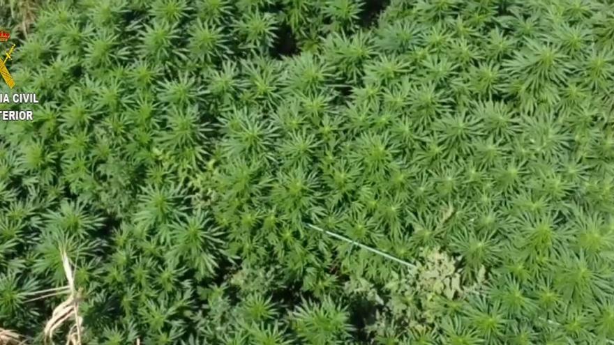 La Guardia Civil de Binéfar interviene 220 kilos de marihuana en una plantación