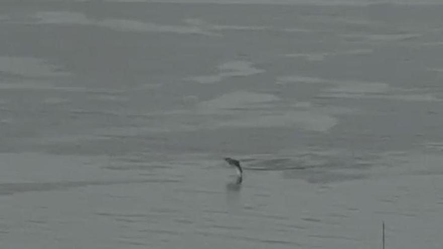 El Puerto de Vigo, 'patio de juegos' de una familia de delfines