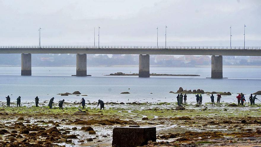 Las algas se convierten en una amenaza para la producción marisquera de Vilanova