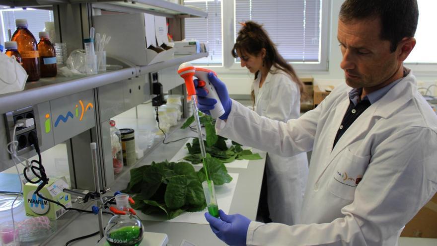 Descubren un efecto antiinflamatorio y antioxidante en las hojas de morera