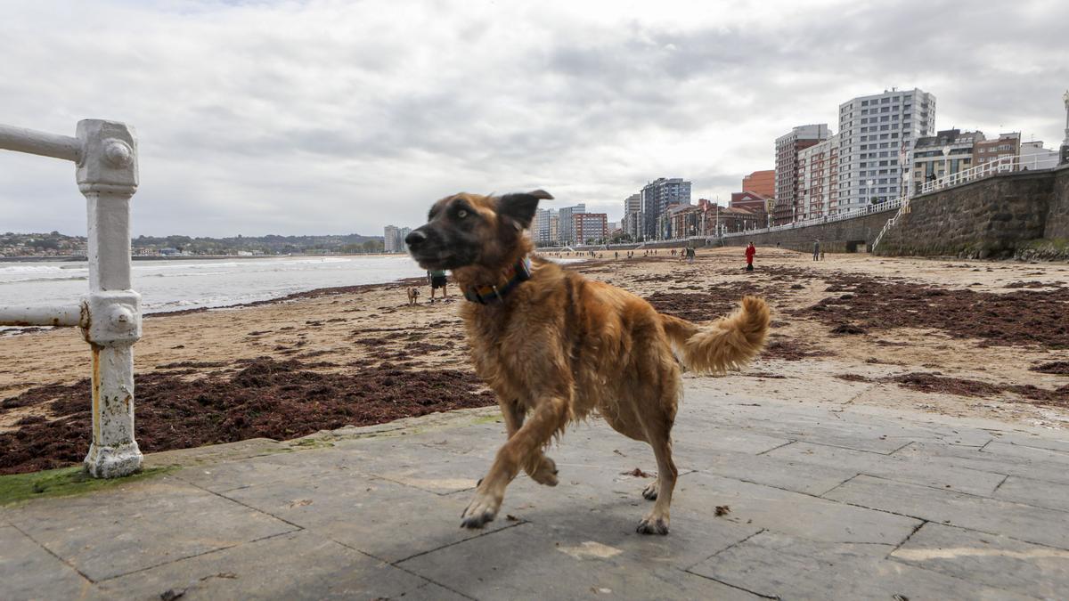 Un perro en la escalera 2 de la playa de San Lorenzo