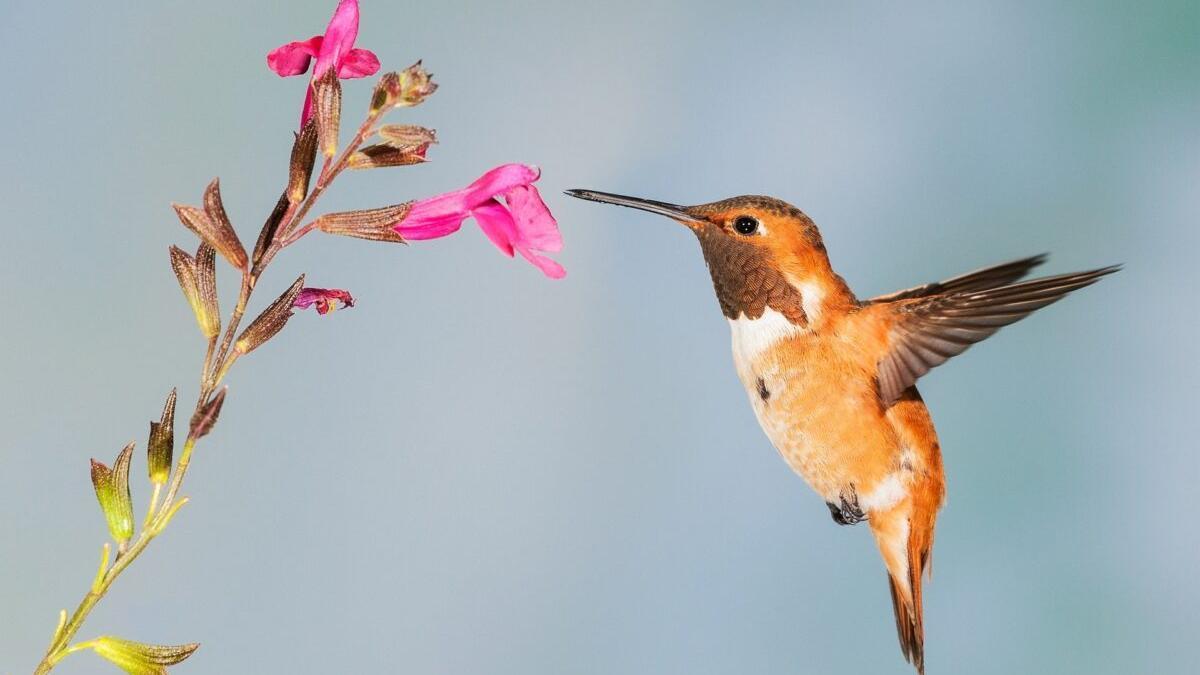 Los colibríes también usan el olfato para detectar enemigos