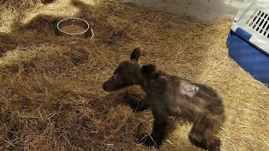 El oso saca pecho en Asturias