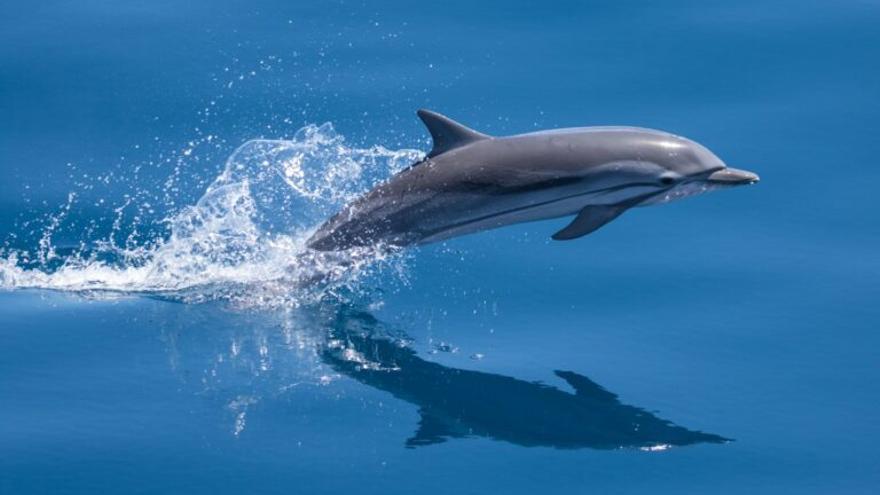 Ocho delfines listados mueren en el Estrecho por pesca ilegal