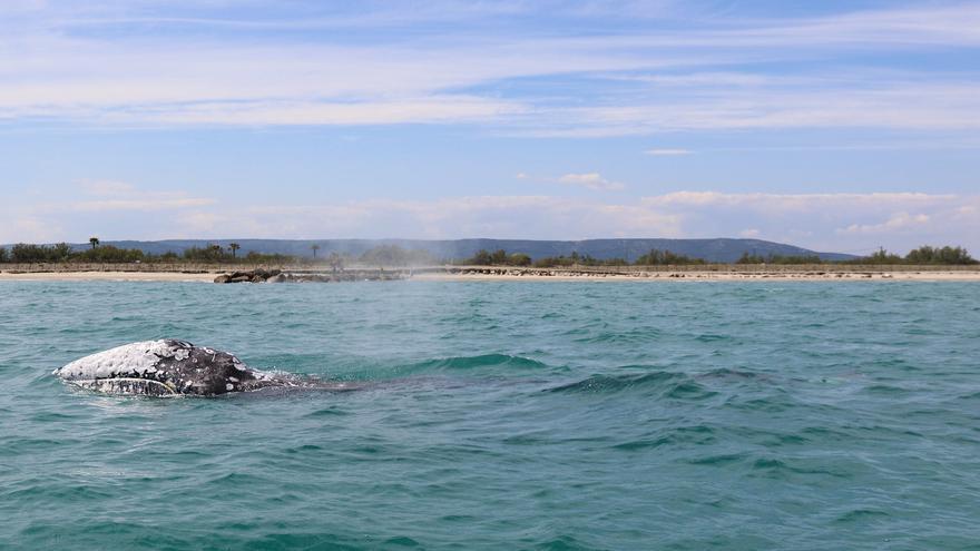"""¡Liberad a Wally! Una ballena gris pasa por Castellón: """"Es realmente algo extraordinario"""""""