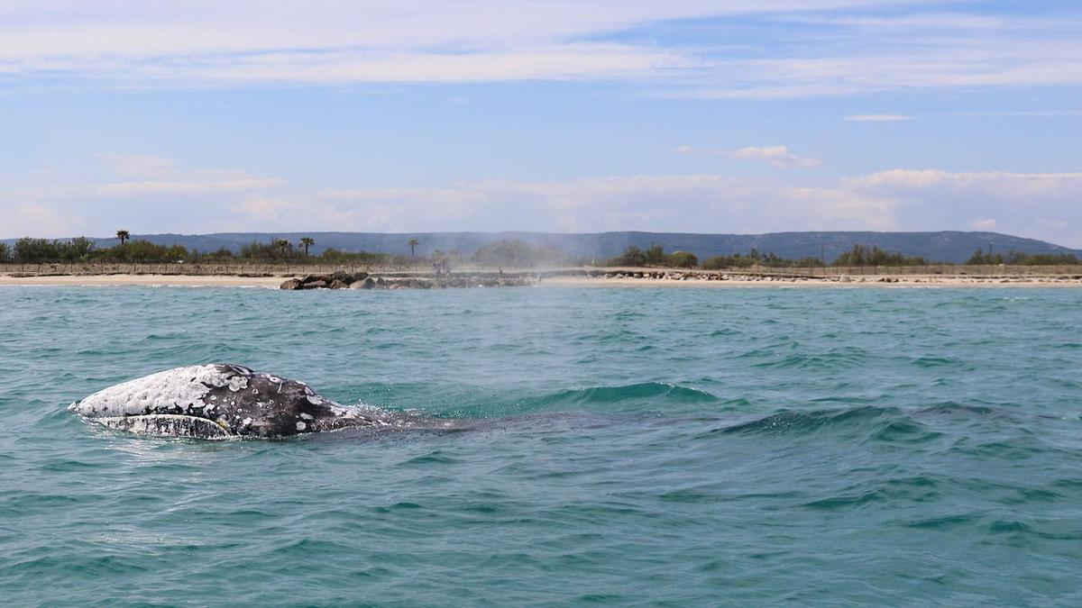 Imagen de Wally, una ballena gris que está siendo avistada en distintos puntos del Mediterráneo los últimos días.