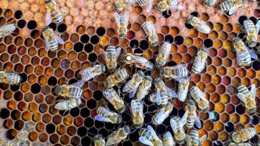Las abejas se clonan a sí mismas