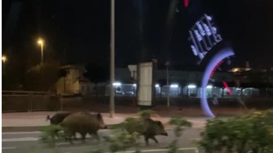 Los jabalíes pasean a sus anchas por las calles de Xàbia