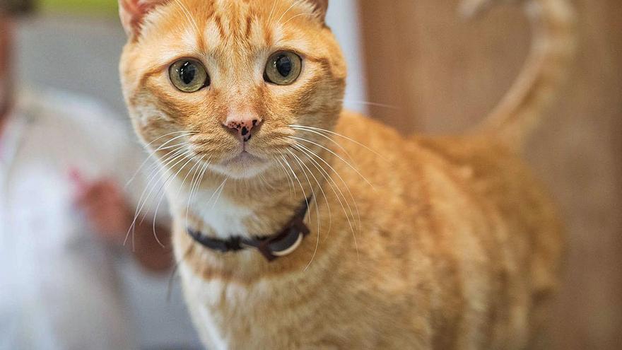 La Orotava y Garachico esterilizan a 400 gatos de colonias callejeras