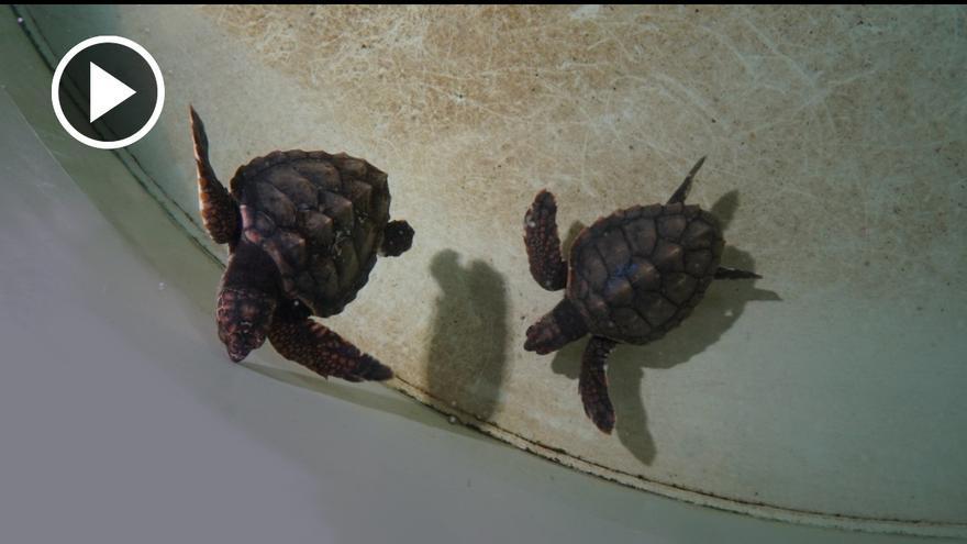 Dos tortugas hermanas nacidas en Ibiza se reencuentran en L'Oceanogràfic de Valencia después de siete meses