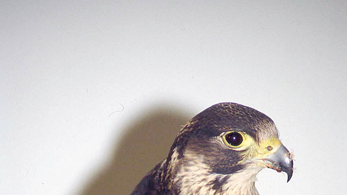 Un halcón peregrino, especie que volvió de entre los muertos