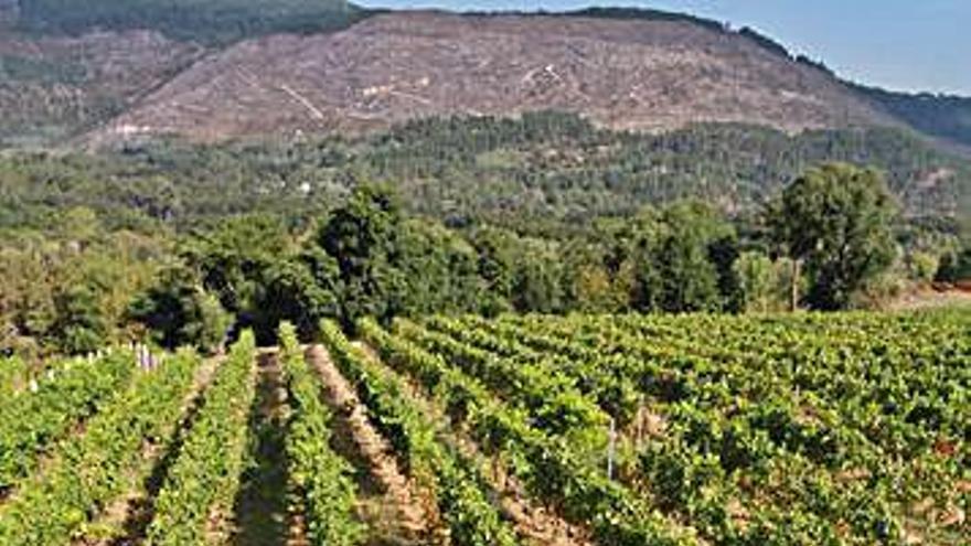 Los viñedos pequeños podrán producir hasta un 20% más en O Ribeiro