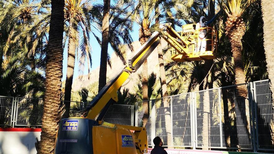 Orihuela inicia la escarda y tratamiento de 4.000 palmeras municipales