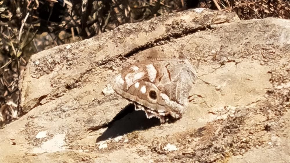 Bonica imatge d'una papallona camuflada entre les pedres.