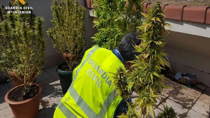 Intervenidas 40 plantas de marihuana en una vivienda de María de Huerva