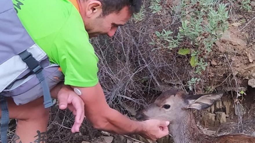 Protección Civil y la Policía Local de Hornachuelos rescatan a un cervatillo en el río Bembézar