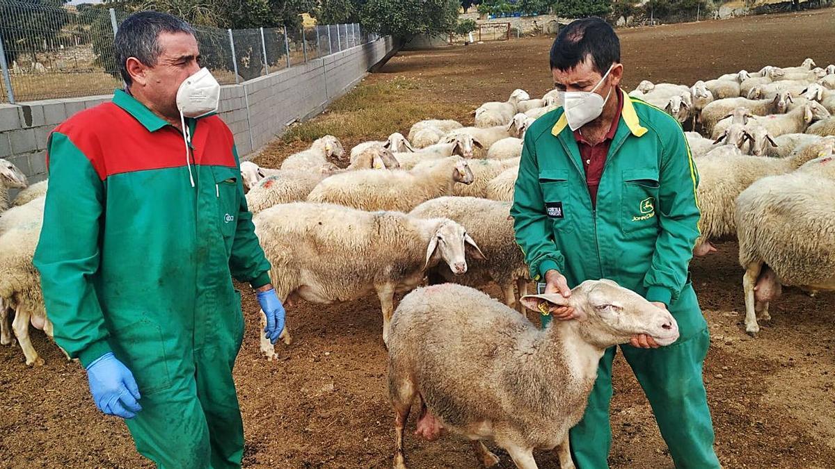 Los hermanos Tejedor, de Almeida de Sayago, con las ovejas que sobrevivieron a los ataques del lobo.   Cedida