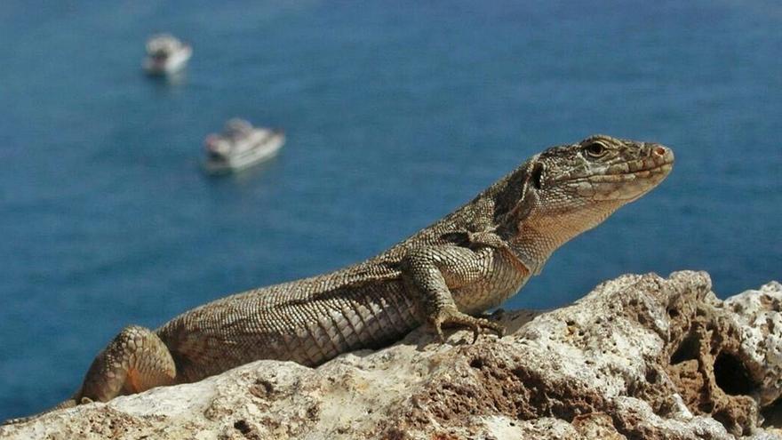 El lagarto gigante y el pinzón azul, entre las especies más amenazadas de la Isla