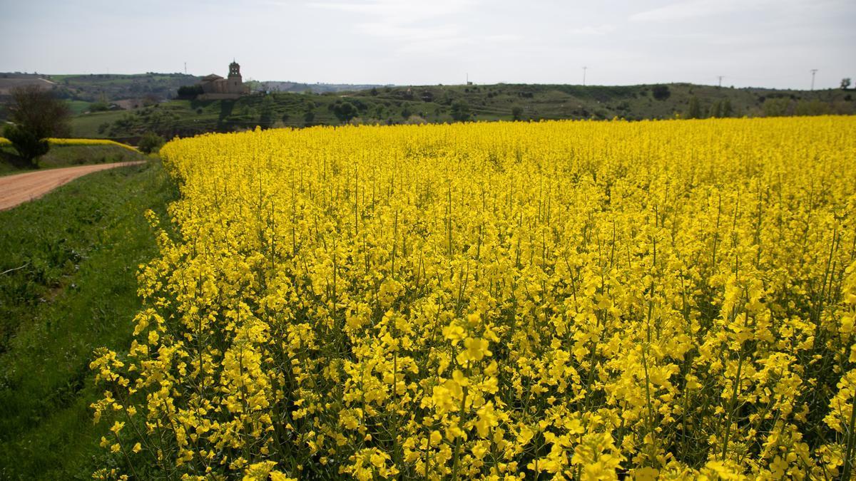 Campo de colza en la primavera zamorana