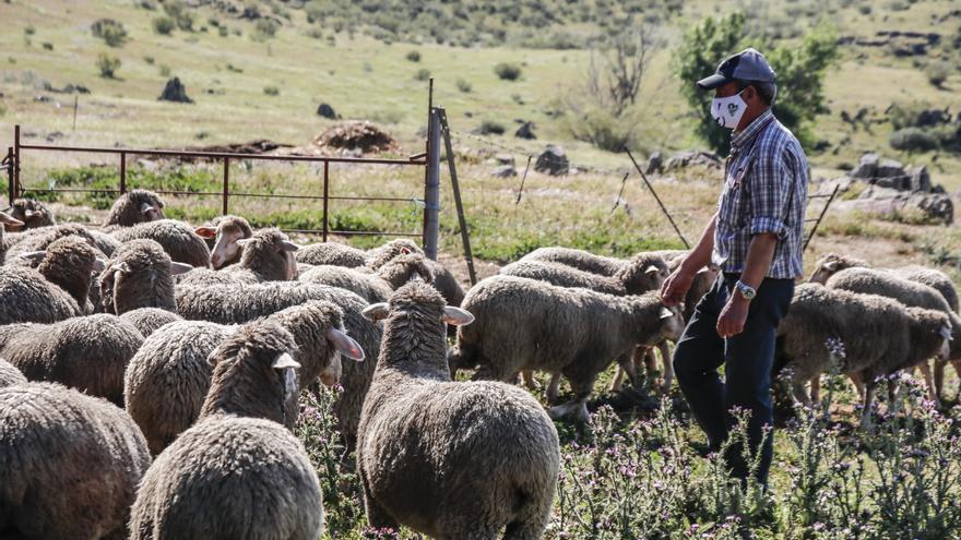 Los corderos de genética australiana nacidos en Fuente de los Romeros