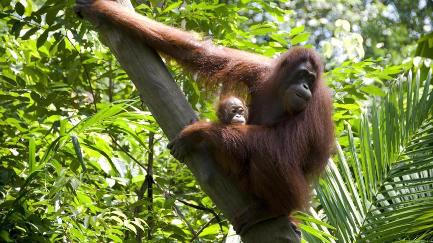 Descubren en Sumatra un nuevo tipo de orangután