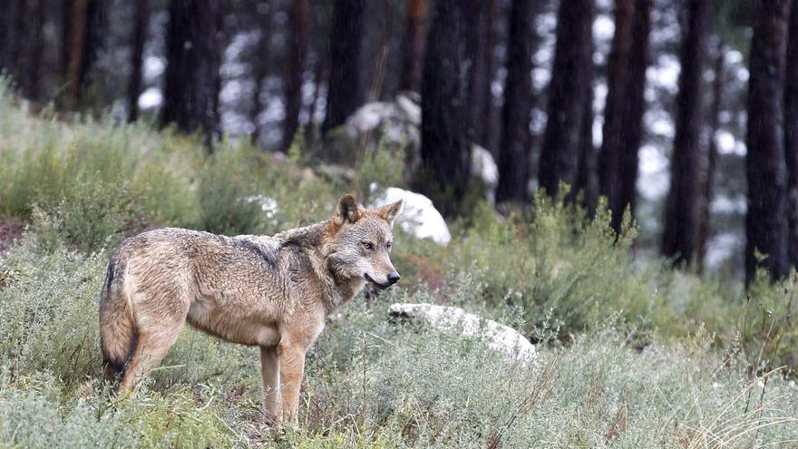 La protección del lobo ibérico se enreda