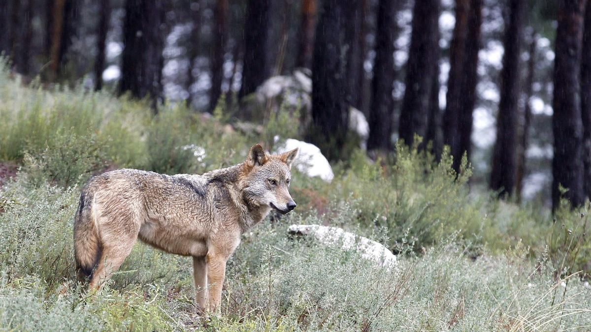 Un lobo en el campo.