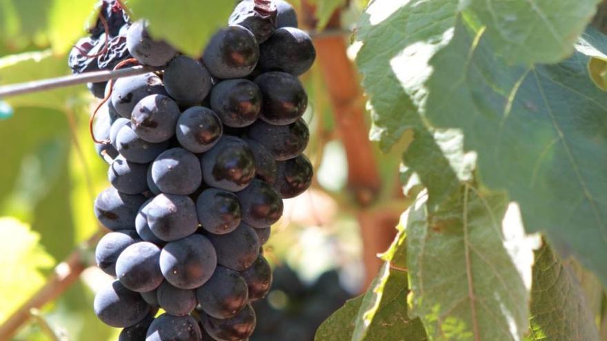 Forscher warnen vor Folgen des Klimawandels für den Weinanbau auf Mallorca