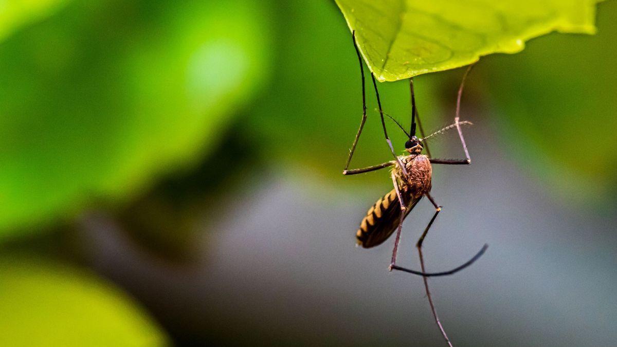 La planta que recomiendan tener en casa para deshacerte de los mosquitos
