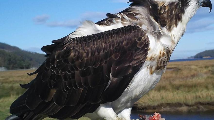 """""""Bandido"""" eleva a tres las águilas pescadoras que invernan en la ría del Eo"""