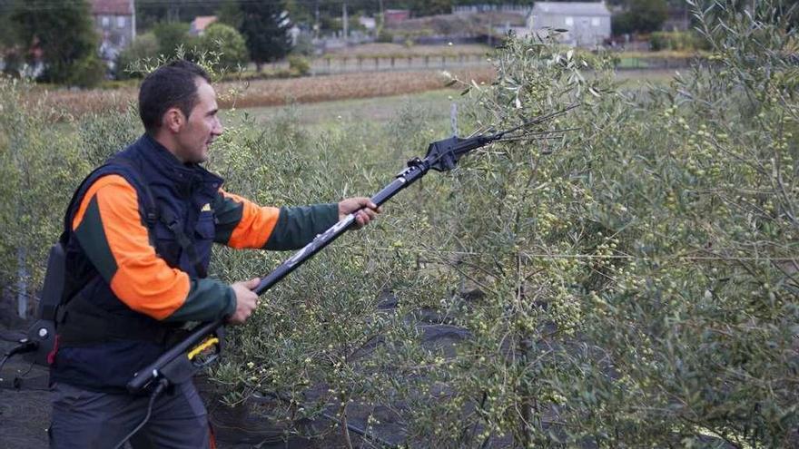 Olivareros de A Estrada inician la recogida de su primera cosecha, que alcanzará los 5.000 kilos