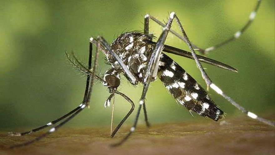 El mosquito tigre vuelve al ataque