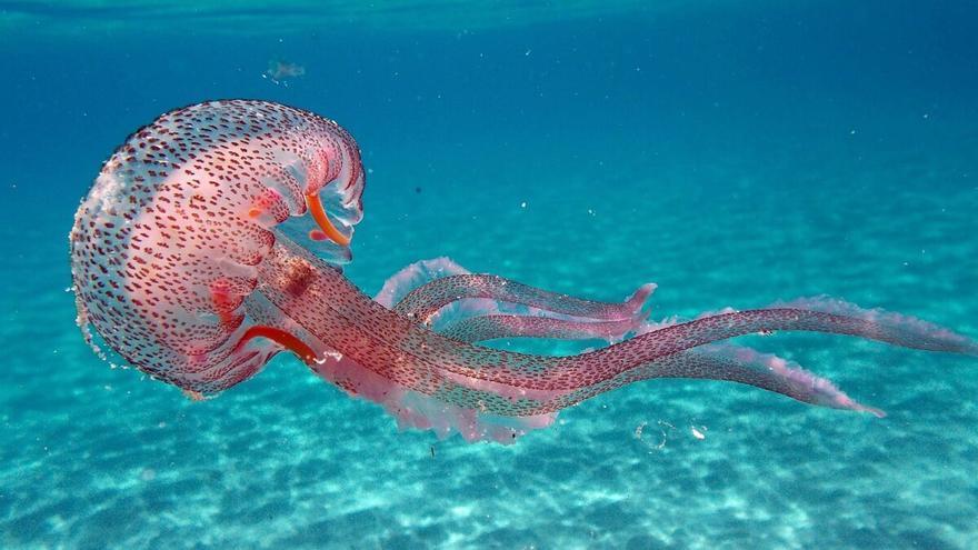 Las 10 medusas más frecuentes en España y su peligrosidad