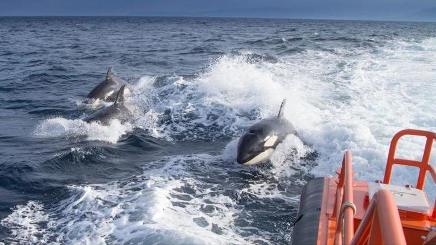 Amplían la prohibición de navegar por Finisterre a los veleros para evitar choques con orcas
