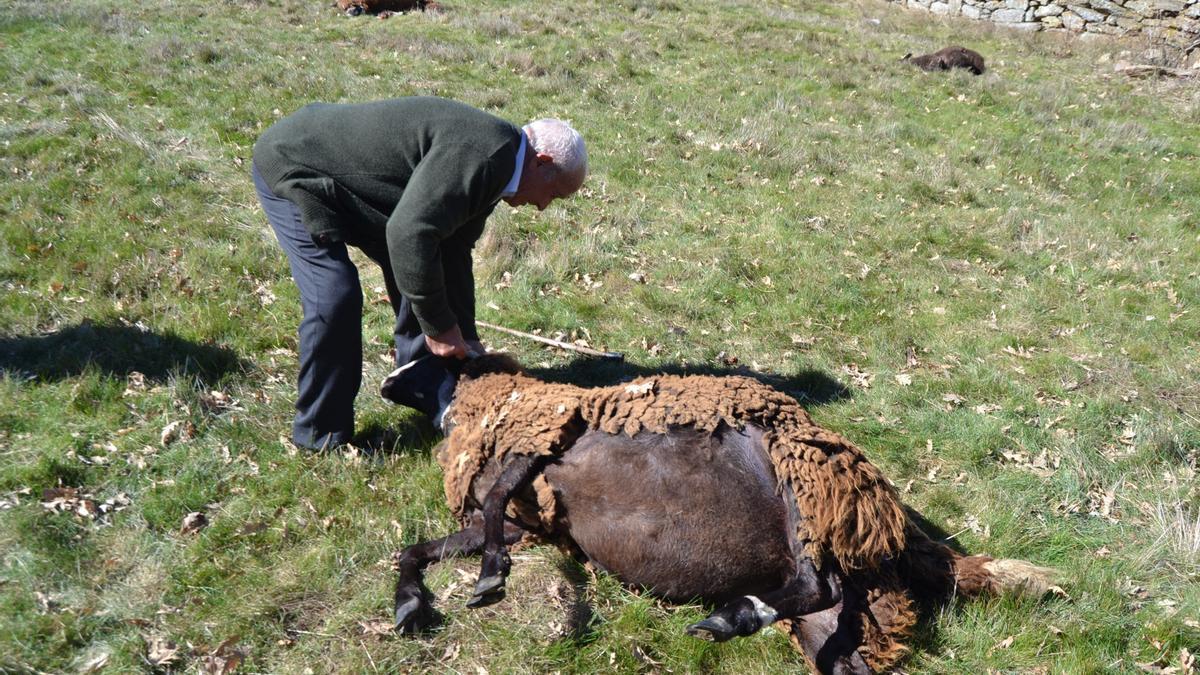 Una oveja, atacada por un lobo en la provincia de Zamora