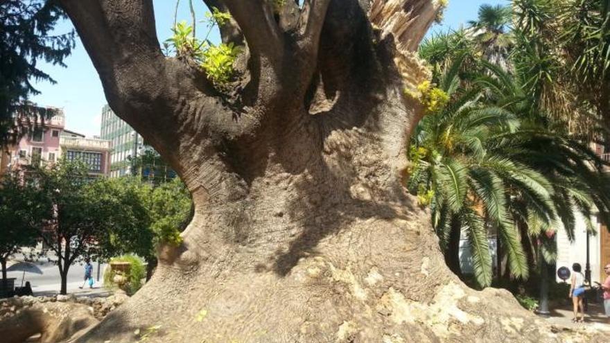 """Palma de Mallorca bangt um einen seiner """"einzigartigen Bäume"""""""